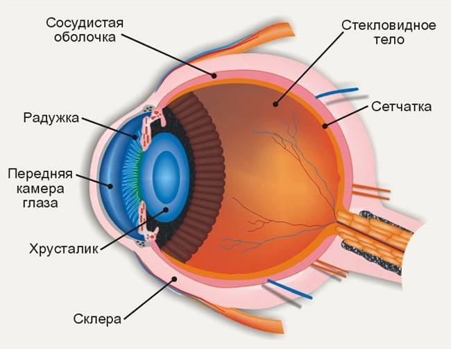 работа человеческого глаза