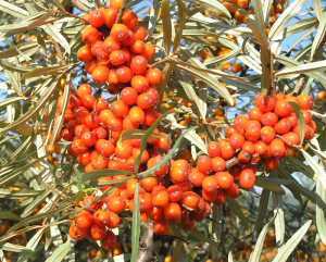 therapeutic-buckthorn-02